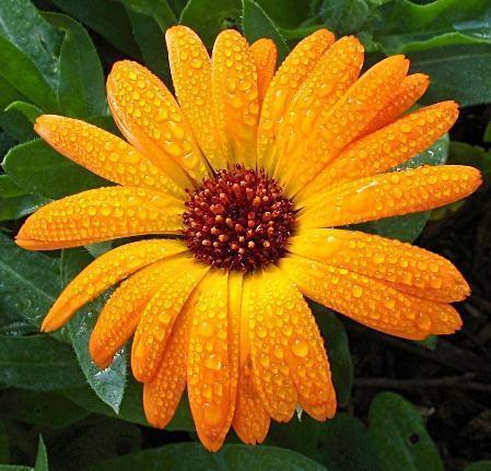 Flores calêndula
