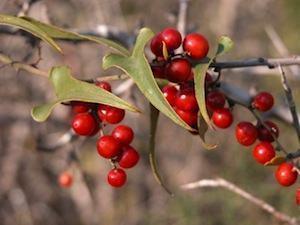 salsaparrilha-beneficios-e-propriedades-dessa-planta