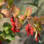 Branch of a barberry ordinary (Berberis vulgaris L.) with berries