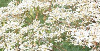 Flor de neve